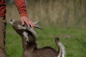 Genieten met geiten