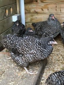 Noord-Hollandse Blauwe kip
