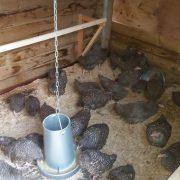 Kippen in de stal